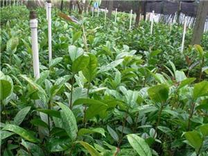 Vĩnh Phúc: Bảo tồn và sản xuất hàng hóa Trà hoa vàng
