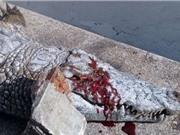 Cá sấu chết thảm vì bị du khách ném đá