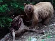 Clip: Gấu nâu xé xác hươu con dã man