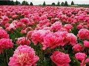 """Mê mẩn ngắm nhìn """"bà Chúa"""" của những loài hoa"""