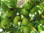 8 lợi ích không ngờ của trái ổi
