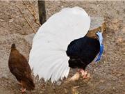 """Chiêm ngưỡng bộ lông cực """"độc"""" của gà lôi Bulwer"""