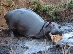Clip: Rợn người nhìn cảnh hà mã tàn sát linh dương