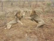 Clip: Cuộc chiến giành mồi tàn khốc của 2 con sư tử đực