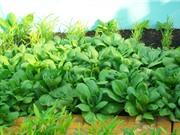 Phương pháp trồng và chăm sóc rau cải thìa trong thùng xốp