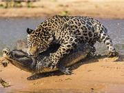 Clip động vật đại chiến ấn tượng nhất tuần: Trâu rừng húc bay sư tử, báo đốm bắt cá sấu