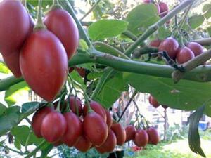 Những trái cây giống ngoại ở Đà Lạt từng lên 'cơn sốt'
