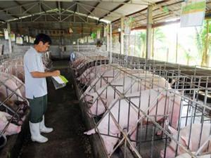 Mô hình chăn nuôi lợn an toàn sinh học
