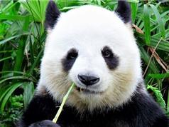Bật mí nguyên nhân gấu trúc có lông màu đen trắng