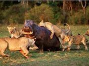 Clip: Bầy sư tử hợp sức săn giết hà mã