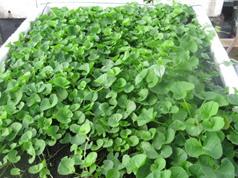 Phương pháp trồng và chăm sóc rau má tại nhà