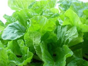 Hướng dẫn trồng rau cải dún trong thùng xốp cho năng suất cao