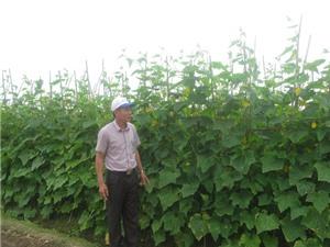 Kỹ thuật trồng dưa chuột lựa vụ cho thu nhập cao
