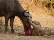 Clip: Trâu rừng giày xéo sư tử tới chết