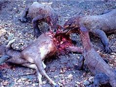 Clip: Rồng Komodo săn giết linh dương