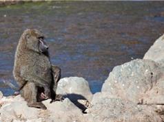 Clip: Thổ dân lừa khỉ đầu chó để lấy nước