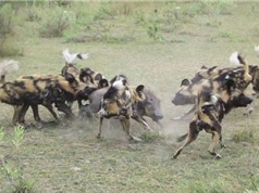 Clip: Bầy chó hoang cắn xe heo rừng
