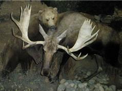 Clip: Nai sừng tấm tử chiến trước gấu xám