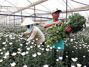 Lâm Đồng: Nông dân trồng hoa xuất ngoại