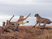 Báo đốm mẹ liều mạng đánh đuổi báo đực bảo vệ con nhỏ
