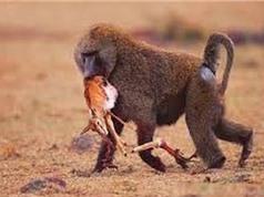 Clip: Khỉ đầu chó xé xác linh dương con
