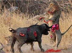 Clip động vật đại chiến ấn tượng nhất tuần: Trâu húc chết sư tử, rồng Komodo xé xác linh dương