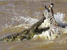 Clip: Ngựa vằn thoát chết thần kỳ trước hàm cá sấu