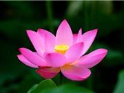 9 tác dụng ít biết của hoa sen và các sản phẩm từ sen