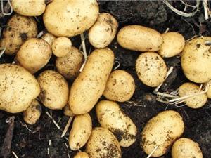 Kỹ thuật trồng khoai tây tại nhà cho củ sai, ít sâu bệnh