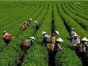 Chè Việt Nam tìm đường quảng bá thương hiệu tại Mỹ