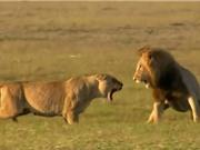 Clip: Sư tử cái liều chết với sư tử đực để bảo vệ con