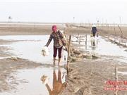 Nghệ An: Dân vào mùa săn 'thần dược' hàu biển