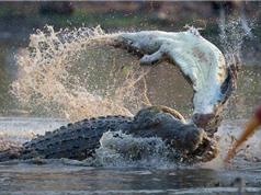 Clip: Cá sấu xé xác đồng loại