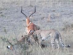 Clip: Linh dương vùng vẫy trong vòng vây của 4 con báo