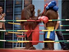 Clip: Màn đấu muay Thái siêu hài hước của tinh tinh