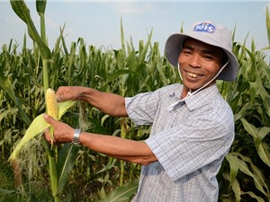 Biến Việt Nam thành nơi xuất khẩu giống GMO của khu vực?