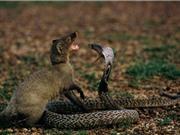 """Clip: Rắn hổ mang mổ chết """"sát thủ"""" sóc đất và cầy mangut"""