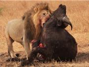 Clip: Trâu rừng trả giá đắt vì thách thức sư tử