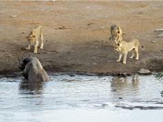 Clip: Sư tử săn giết tê giác đang mang thai