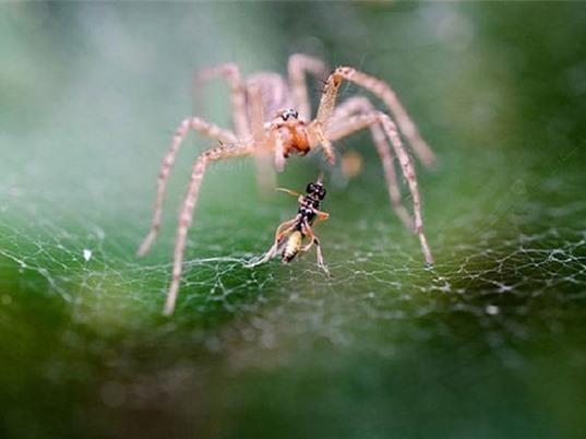 KHÓ TIN: Loài nhện tiêu thụ hàng triệu tấn côn trùng mỗi năm