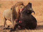 """Clip: Sư tử """"giày vò"""" trâu rừng tới chết"""