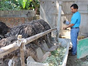 Người đầu tiên và duy nhất ở Vĩnh Bảo dám đầu tư nuôi đà điểu