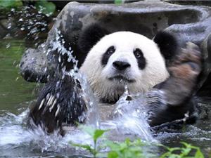 """Clip: Màn """"tắm táp"""" siêu dễ thương của gấu trúc"""