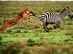 Clip: Sư tử phục kích trong đám cỏ săn ngựa vằn