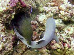 Clip: Lươn biển nuốt gọn cá mập