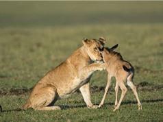 """Clip: Sư tử """"động lòng trắc ẩn"""" tha chết cho linh dương con"""