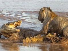 Clip: Sư tử giết cá sấu trên sông