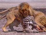 Clip: Sư tử đực xé xác ngựa vằn con mới sinh