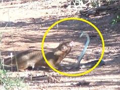 Clip: Màn giao chiến ác liệt giữa rắn và cầy lỏn