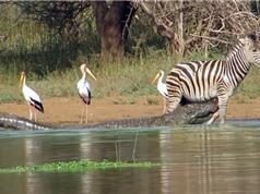 Clip: Ngựa vằn may mắn thoát chết trước hàm cá sấu